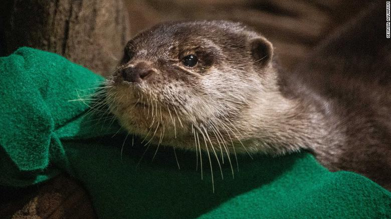 Otters at Georgia Aquarium test positive for coronavirus