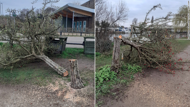 Two of the trees that have fallen victim to the phantom culprit.