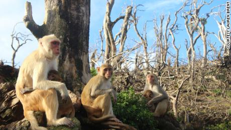 Los monos Rhesus hicieron nuevos amigos después del huracán María.