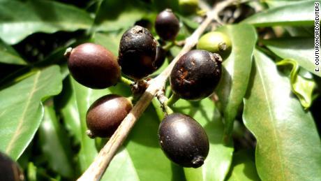 Yarım asırdır unutulan bu nadide fasulye, Sierra Leone'nin kahve endüstrisini kurtarabilir.