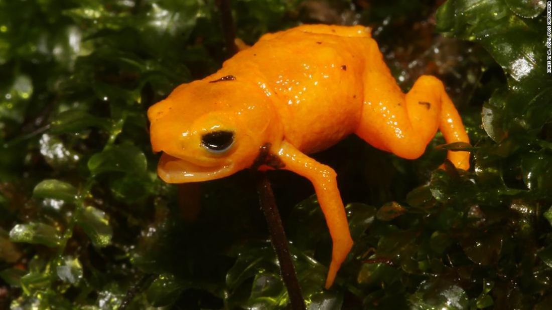 A new species of cute but poisonous 'pumpkin' toads discovered in Brazil – CNN