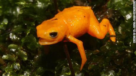 Estos anfibios de color naranja brillante secretan un veneno que puede ser peligroso para los humanos.