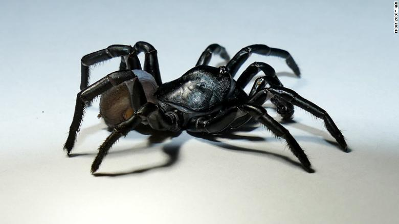 Meet the Pine Rockland Trapdoor Spider, who was recently identified in Florida.