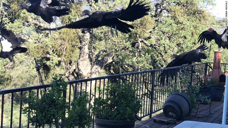 Condors have a wing span of up to 9 feet and can weigh over 20 pounds.