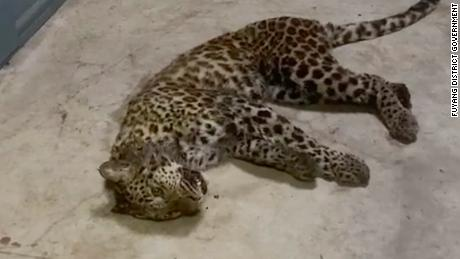 This partially sedated juvenile leopard was captured on May 8, having escaped a week earlier from a safari park in Hangzhou, China.  - 210510094027 hangzhou fuyang leopard video still large 169 - China rocket crash: US blamed for hyping fears of uncontrolled rocket reentry as space race heats up