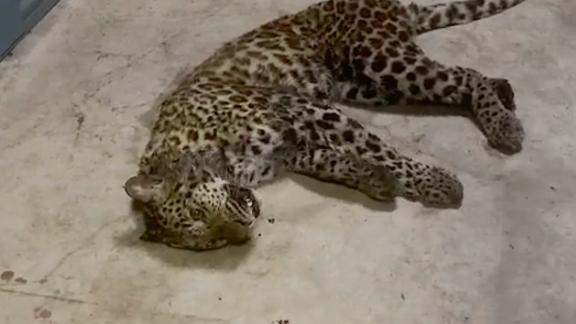 Authorities in Hangzhou's Fuyang district posted a video of a partially-sedated juvenile leopard after it was captured on May 8, 2021, having escaped a week earlier from a safari park in the eastern Chinese city.