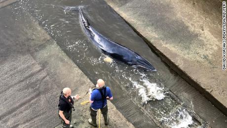 Une jeune baleine piégée dans la Tamise à Londres a été euthanasiée