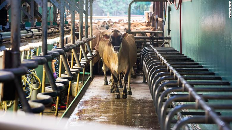 Dairy cows typically come home every day for milking, making it easier to put them on a strict diet.