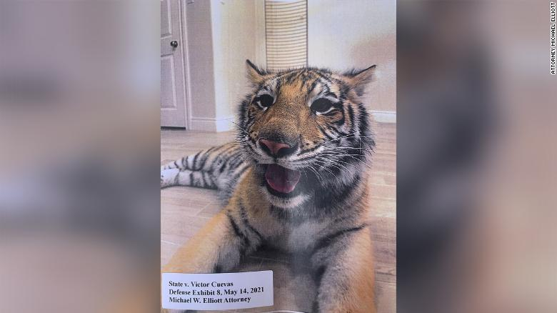 Houston police still don't know where a missing tiger is. Here's what we do know
