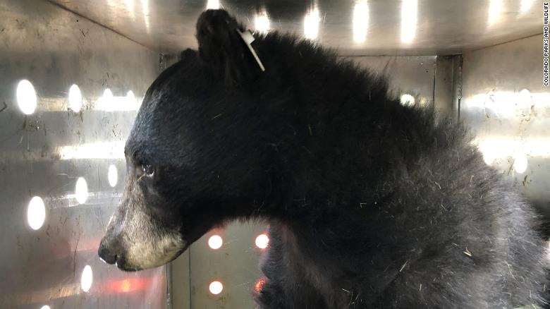 Black bear released into the wild after being burned in Colorado wildfire