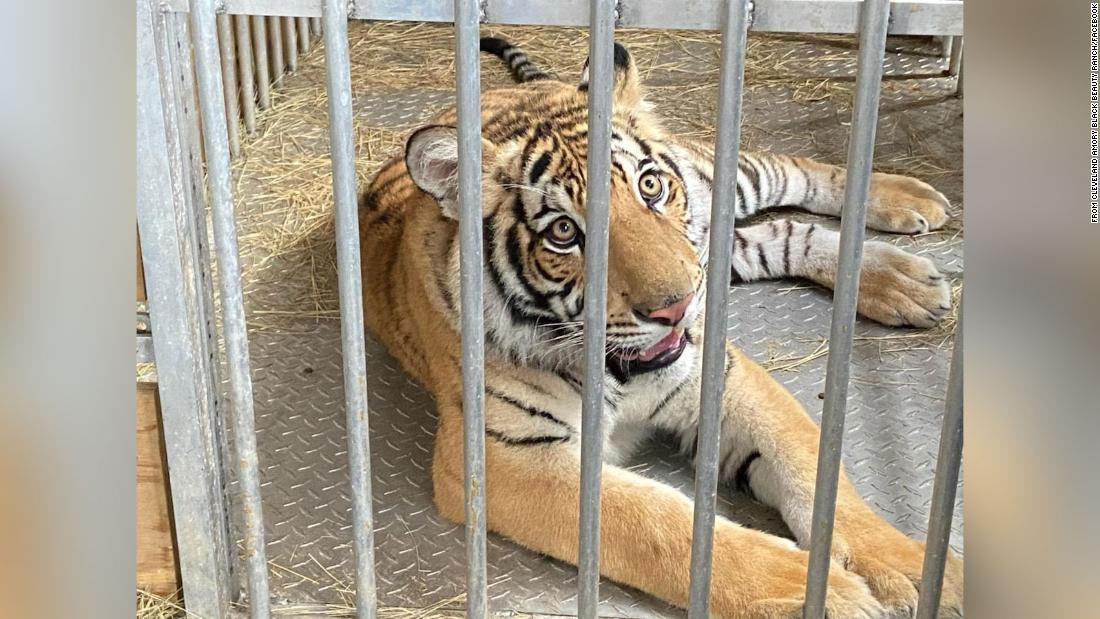 The Houston tiger was found with help from a local businesswoman