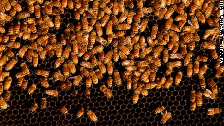Bees are seen on a honeycomb cell  at the Urban Bee Hive rooftop site in Woolloomooloo on May 14, 2021, in Sydney, Australia.