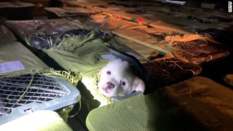 L'un des chiots trouvés par Love Home lors de leur raid sur un camion dans la province du Sichuan le 3 mai. Ils pensent qu'il était destiné à une «boîte mystère pour animaux de compagnie».