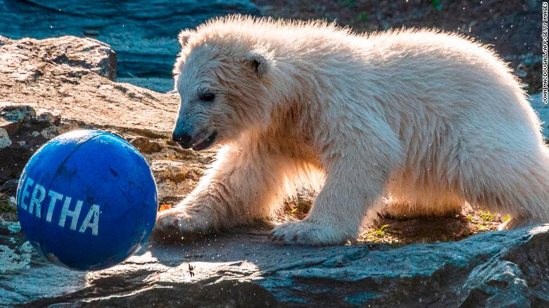 Berlin zoo says its polar bear cub's parents were brother and sister