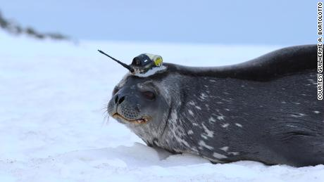 The team attaches a smartphone-size device to the fur on the back of the seal's head.