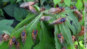 Billions of cicadas are emerging in eastern US
