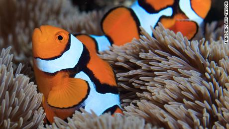 Secret of how quickly the clownfish gets its stripes