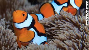 Secret to how quickly clownfish gets its stripes