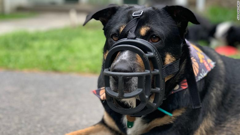Bonnie has to wear a  muzzle because the cicadas are too tempting.