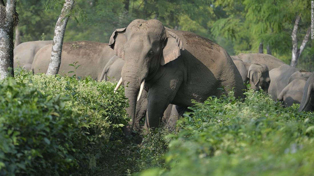 The country where elephants kill around 500 people every year
