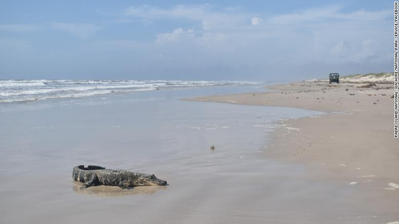 An alligator from Louisiana was discovered on a South Texas beach over 400 miles away, raising questions about how it got there
