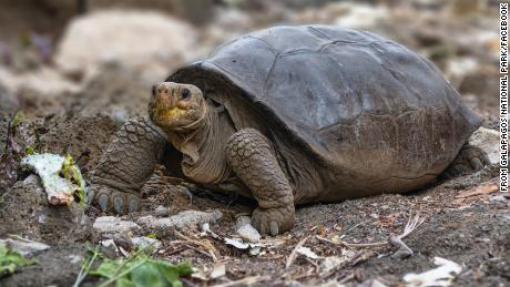 A tortoise of the Chelonoidis phantasticus species, which had been considered extinct more than a century ago, is seen on the Galapagos Islands in July 2019.