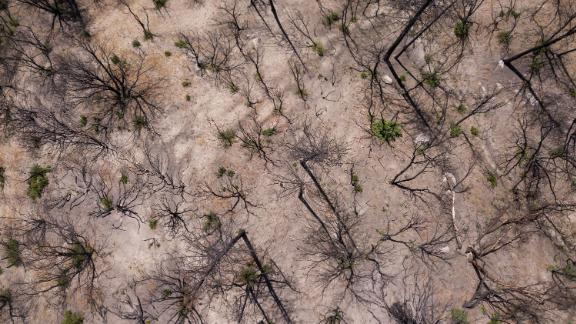 Trees that have been burned in a wildfire during the California drought emergency on May 25, 2021.
