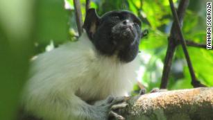 Monkeys change 'accents' when under social and environmental pressure