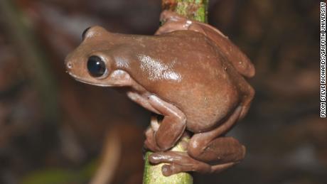 Существо было названо так из-за шоколадной окраски.
