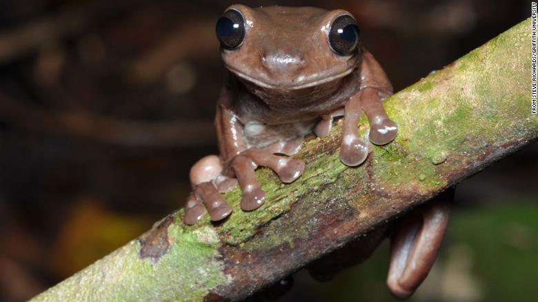 Scientists discover new 'chocolate frog' in swamp