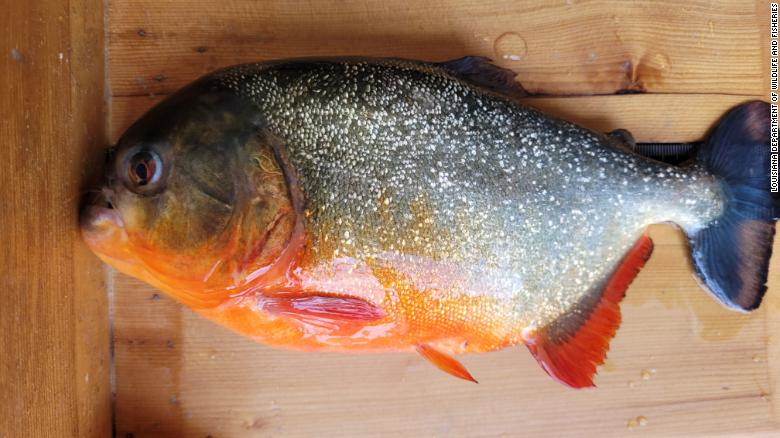 Red piranha caught in a lake near LSU. Louisiana wildlife authorities are making sure there aren't more