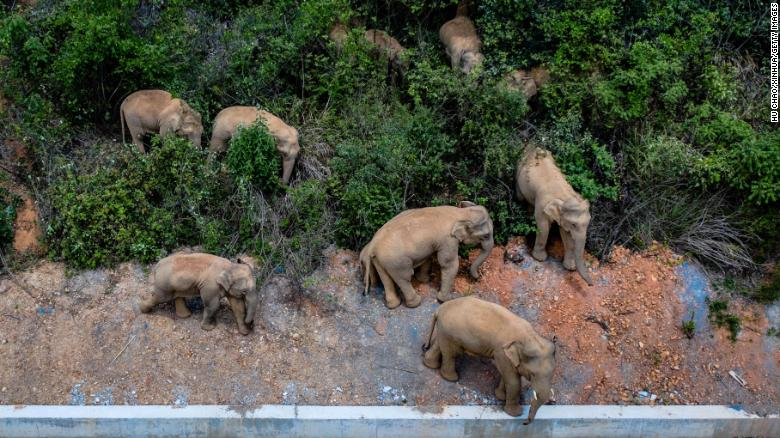 Elephant herd razes 500-kilometer path of destruction after escape from China nature reserve