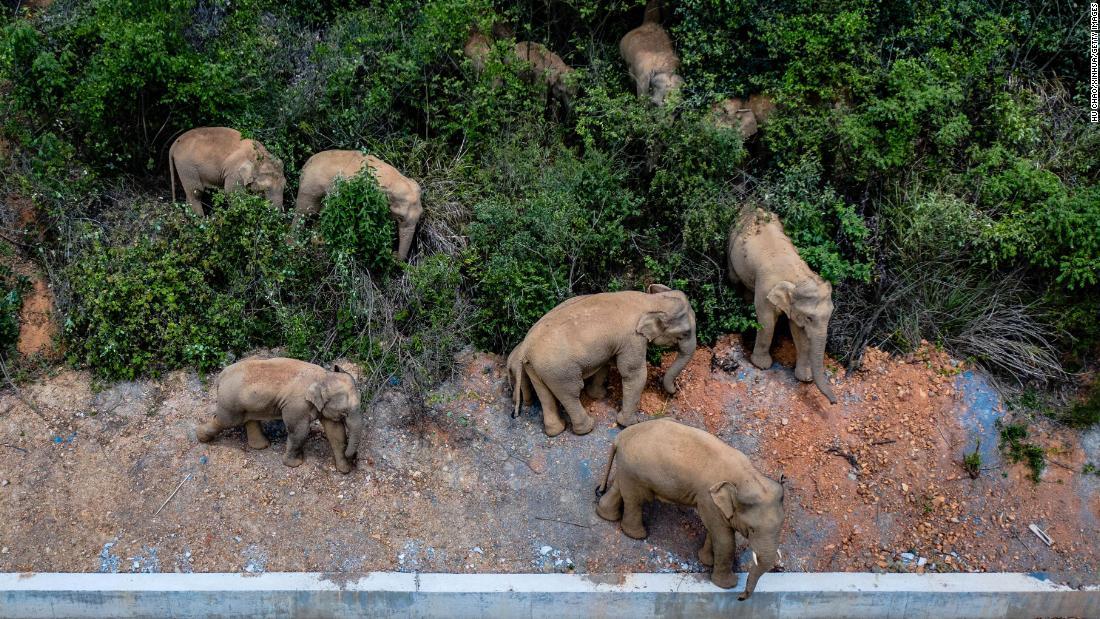 Elephant herd razes 500-kilometer path of destruction after escape from China nature reserve – CNN