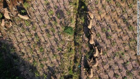 कहा जाता है कि हाथियों के झुंड ने कम से कम 1.1 मिलियन डॉलर का नुकसान किया है।