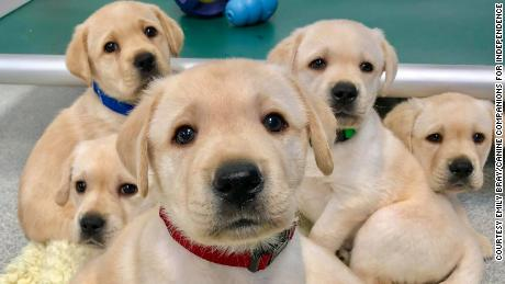 Of the 375 puppies who participated in the research, most were Labrador retrievers, golden retrievers or a lab-golden mix.