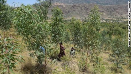 In this picture take on May 17, 2018, Khyber Pakhtunkhwa forest department guards walk in a tree plantation in Heroshah District in northwest Pakistan.