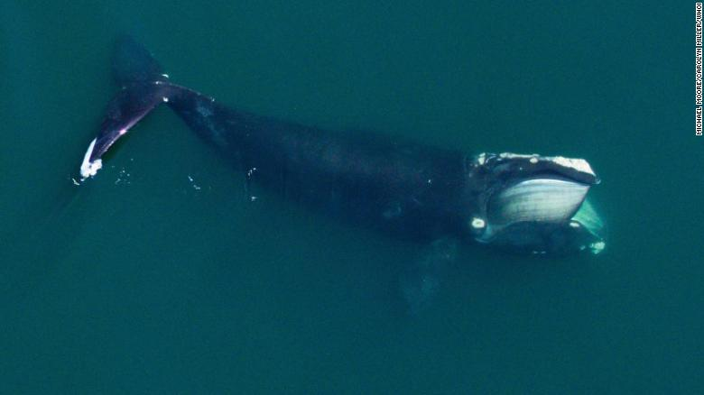 Right whales are smaller than they used to be, in part due to commercial fishing and changing oceans, study says
