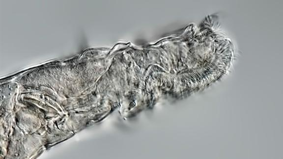 This is a side view of a rotifer that survived 24,000 years frozen in Arctic permafrost.