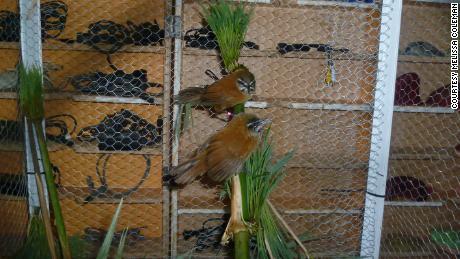 Gelatik ekor sederhana adalah burung penyanyi yang hidup di hutan bambu Andes.