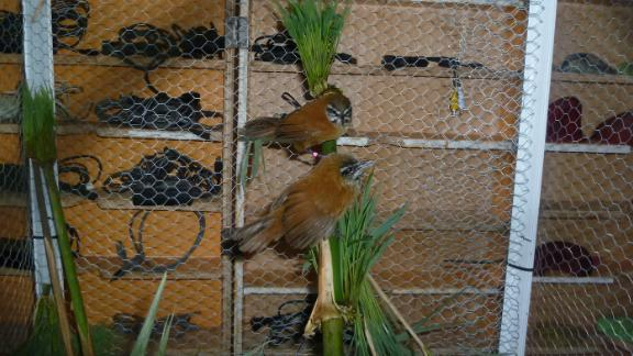 Plain-tailed wrens are songbirds that live in bamboo thickets in the Andes region.