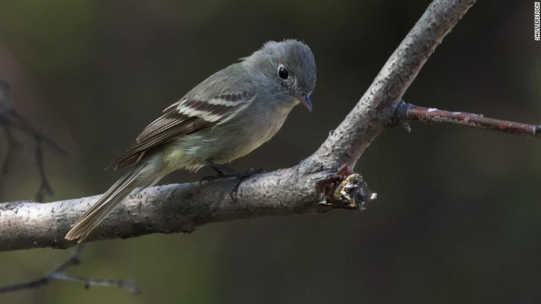 Many North American birds bear names with racist roots. That's beginning to change