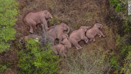 Des millions de personnes en Chine ne peuvent s'empêcher de regarder un groupe d'éléphants errants