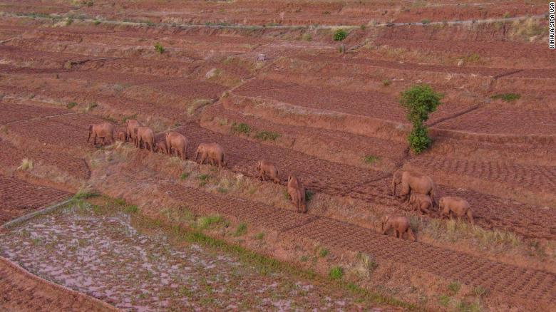 Wild Asian elephants in Jinning District of Kunming, southwest China's Yunnan Province on June 6.