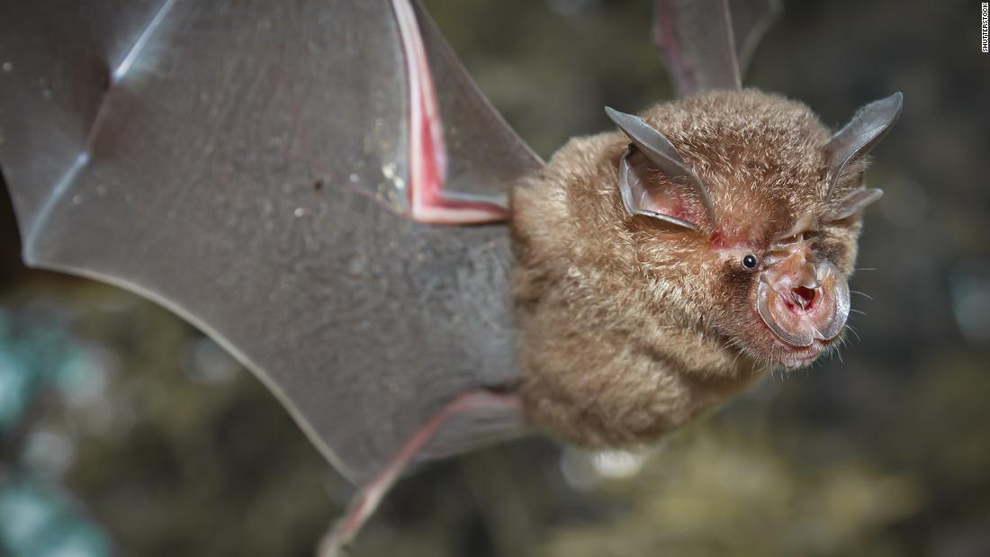 Chinese researchers find batch of new coronaviruses in bats – CNN