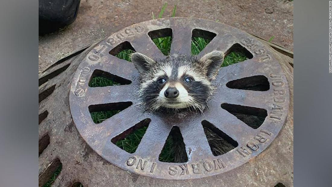 210612104111 restricted raccoon head sewer rescued trnd super tease