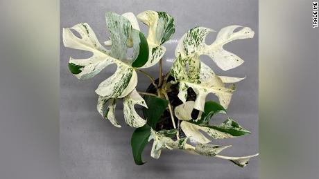 Giống Rhaphidophora Tetrasperma được trồng trong chậu 14cm.