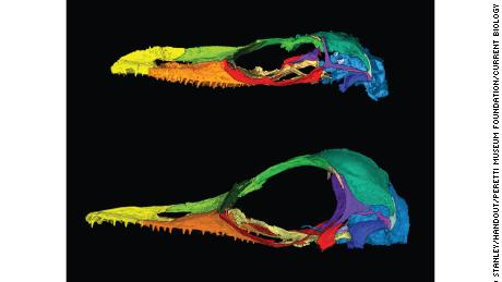 Oculudentavis naga, top, is in the same family as Oculudentavis khaungraae, bottom. Both specimens' skulls deformed during preservation, emphasizing lizardlike features in one and birdlike features in the other.