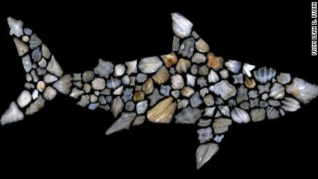 Этот силуэт акулы состоит из окаменелостей акулы.