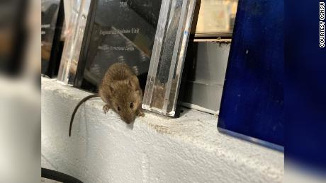 The prison was invaded by mice looking for food and shelter.