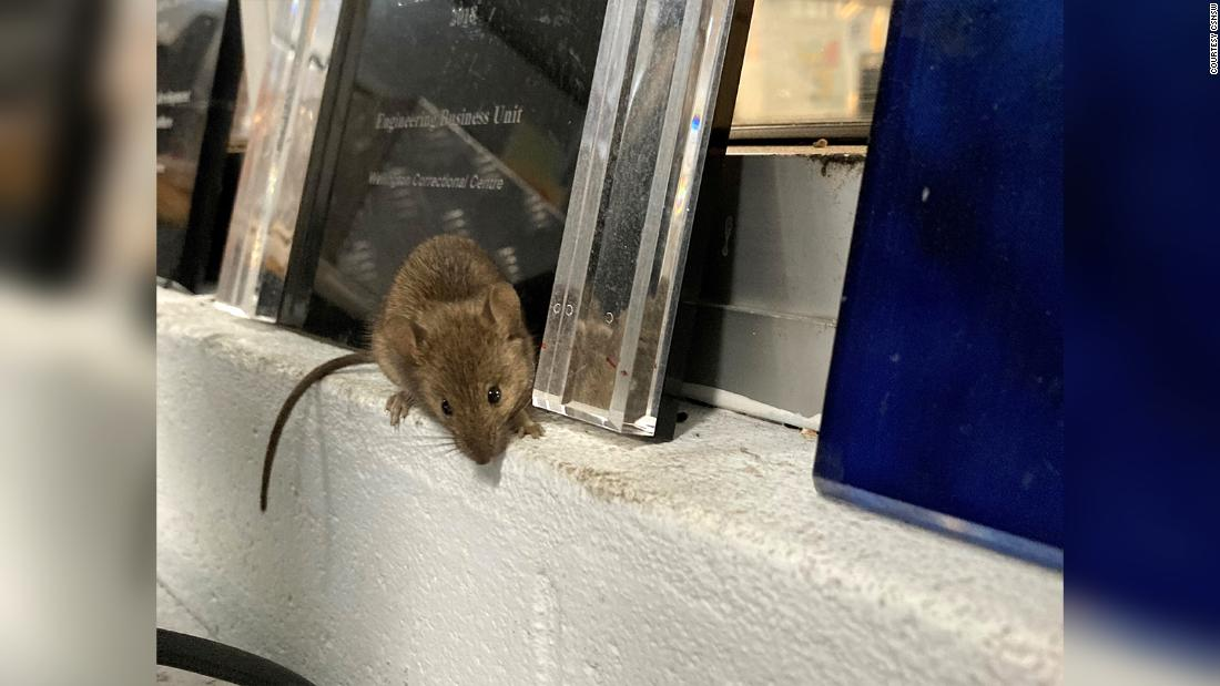 Mouse plague forces Australian prison to evacuate staff and inmates